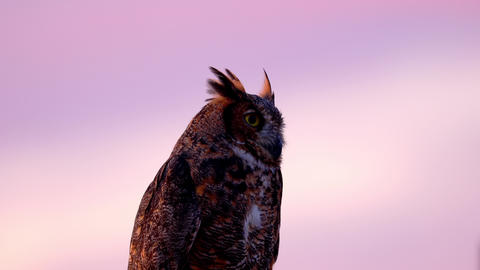 Portrait of a perched Great Horned Owl Live Action