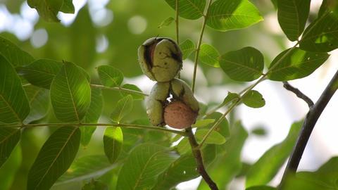 Ripe walnuts in broken peel on branch. Ripe walnut growing on a tree Live Action