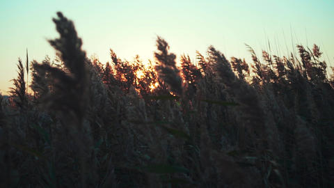 Sunset grass slow motion. Sunset Silhouettes of dune grass Live Action
