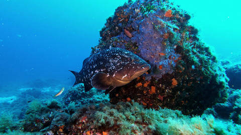 Marine life - Grouper fish close to the camera Live Action