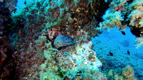 Undersea wildlife Moray eel in a colourful reef - Scuba diving in Majorca Spain Live Action