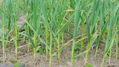 Farming and agriculture, young garlic grow in the garden. Green sprouts of young garlic sprout Live Action