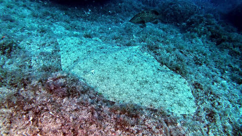 Quiet stingray laying at the seabed - Marine life underwater Live Action