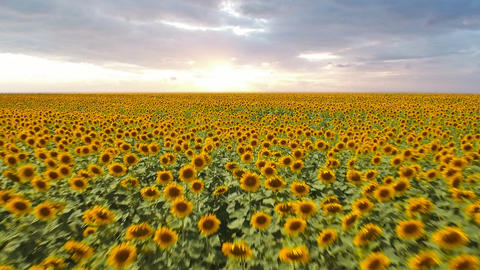 Drone Flying over a Sunflower field moving across a field of sunflowers Live Action
