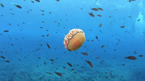 Underwater marine life - Jellyfish in clean blue water Live Action