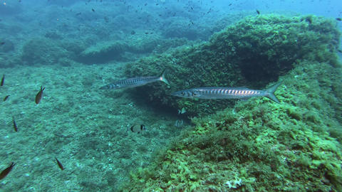 Marine life - Two barracudas swimming in a Mediterranean sea reef Live Action