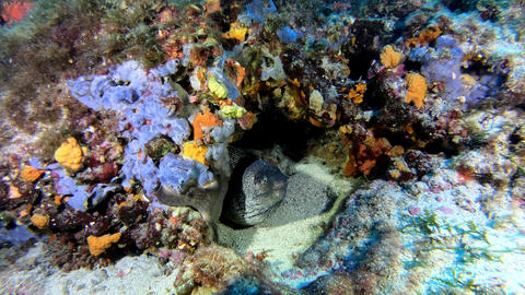 Moray eel in a colourful reef - Wildlife underwater Live Action