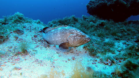 Marine life Grouper fish at the sea bottom Live Action