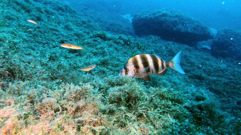 Marine life Imperial bream in a reef Live Action