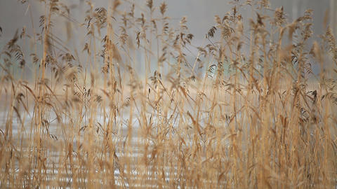 dry reeds blurred background Live Action
