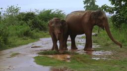 Asian elephants enjoying dust bathing at rainy season in Udawalawe, Sri Lanka Footage