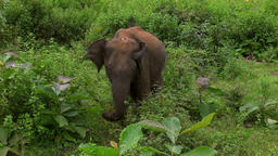 Big Asian elephant at Udawalawe National Park. Sri Lanka wild animals Footage