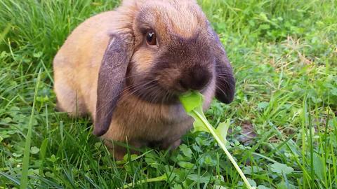 Cute Rabbit Eating Grass Footage