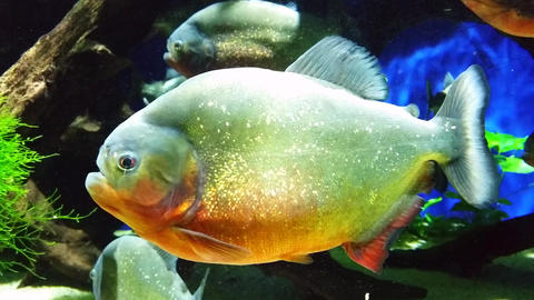 Red-Bellied Piranha Footage