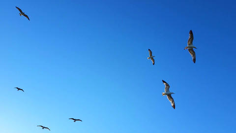 Seagulls Flying In Clear Blue Sky Footage