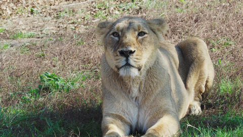 Asiatic lioness (Panthera leo persica). Lioness lies on grass Live Action