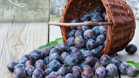 Plum harvest. Plums in a wicker basket on wooden background. Harvesting fruit from the garden Live Action