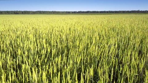 golden commercial wheat grows on boundless yellow field Live Action