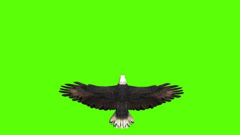 Bald Eagle in Top View on a Green Screen Live Action