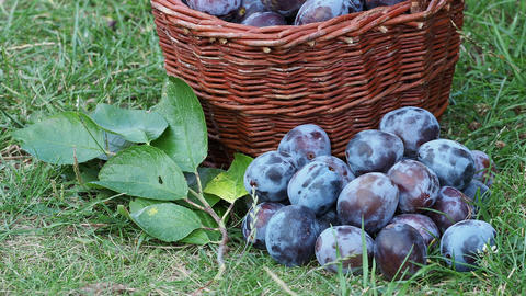 Plum harvest. Plums in a wicker basket on the grass. Harvesting fruit from the garden Live Action