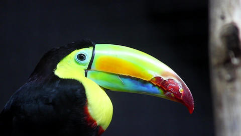Keel-Billed Toucan Footage