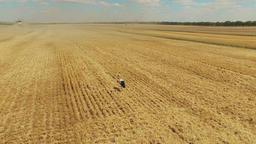 Stork bird walking in harvested wheat rye field. Harvest farm rural 4k video Footage