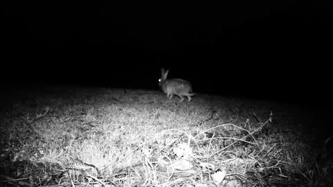 Hare (Lepus Europaeus) walks and eats grass in a meadow in a cold winter night Live Action