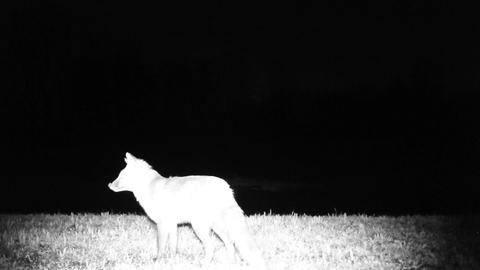 Red fox (Vulpes vulpes) in a winter night in a forest. Nature Wildlife Video Live Action
