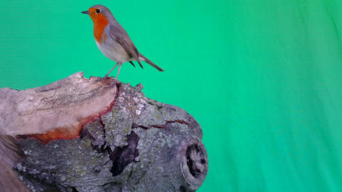 European Robin (Erithacus rubecula redbreasteats) with Green Screen or Chromakey Live Action