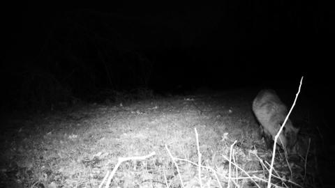 Red fox (Vulpes vulpes) in a winter night in a forest. Nature and Wildlife Video Live Action