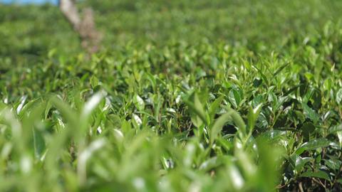 shining tea bushes on plantation extreme close view Live Action