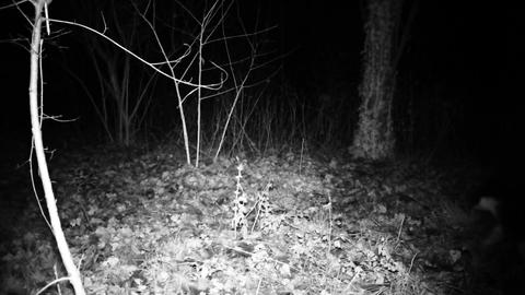 Cat walk in a dark wood in the night. Full HD high definition domesti Live Action