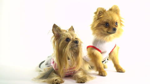 Two small dogs in clothes sit side by side and twist their faces Live Action
