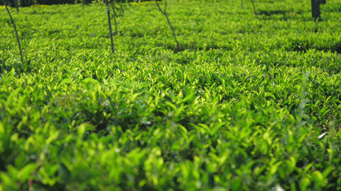 calm picture of tea plantation with bushes slow motion Live Action