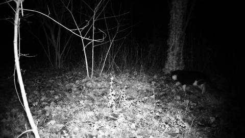 Cat walk and smell in a wood in the night. Full HD domestic cat Live Action