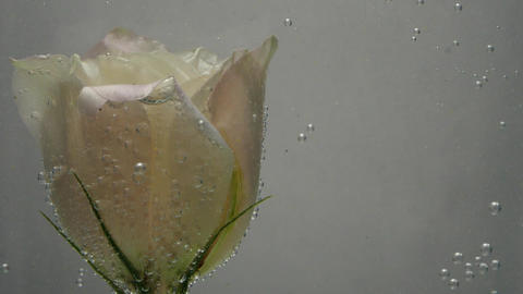 Wonderful creamy rose is in cold, fresh, clear water, covered with air bubbles Live Action