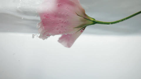 Wonderful fresh soft pink rose floats and reflects in cool crystal clear water Live Action