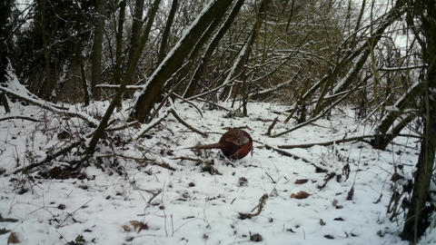 Female of Pheasant (Phasianus Colchicus) eats the grass in urban wood in winter Live Action
