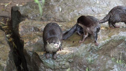 Group of oriental small-clawed otter (Amblonyx cinereus), also known as the Asian small-clawed otter Live Action