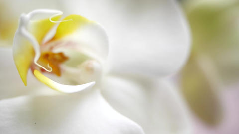 Beautiful pestle of orchid. A beautiful white flower is very close. House flora Live Action