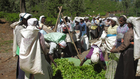 workers pack green tea leaves into large bags slow Live Action