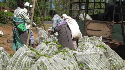 ladies in traditional clothes fill trailer with leaves bags Live Action