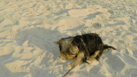 A Small Yorkshire Dog Playing on the Sand Footage