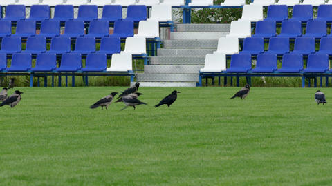 1080p Crows Sitting on Green Lawn of Empty Football Field With Blue Benches Footage