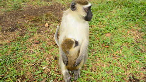 Mother and child Vervet Monkey Footage