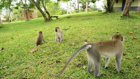 Vervet Monkey Family Footage