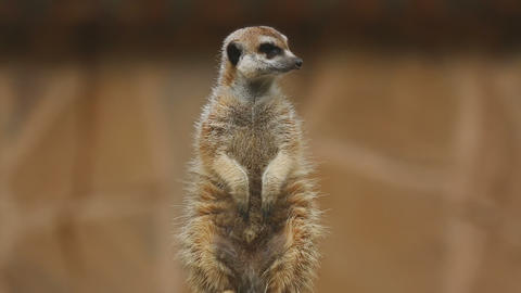 Meerkat looking out Footage