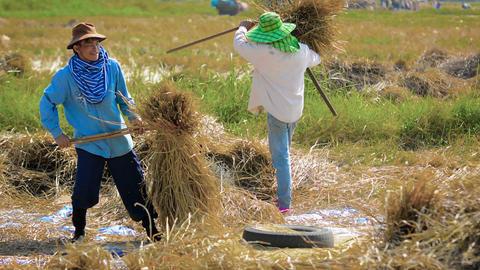 CHIANG RAI. THAILAND - CIRCA DEC 2013: Agricultural workers threshing rice by ha Footage