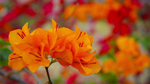 Cluster of Orange Bougainvillea Flowers at Ayutthaya Historical Park in Thailand Footage
