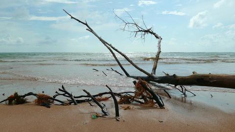 Dead pine tree on the beach Footage